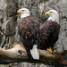 Double Eagles by Eric Kilby