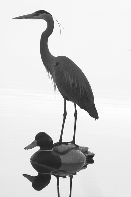 Great Blue Heron on decoy 20120302