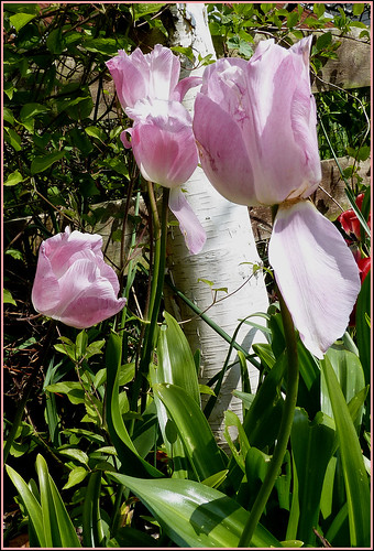 Pale pink tulips against White Birch.  View on black. by ronmcbride66