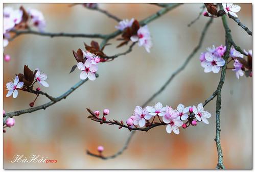 Nhẹ nhàng xuân - Quiet Spring - Explored by Ha Hai