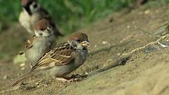 麻雀啄食田間作物,讓農民傷透腦筋。(攝影:吳幼華)