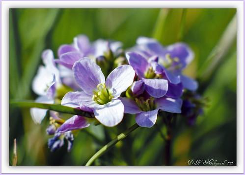 Pinksterbloem.Cuckoo-flower by ditmaliepaard
