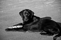 puppy(0.0), labrador retriever(1.0), animal(1.0), dog(1.0), mammal(1.0), monochrome photography(1.0), flat-coated retriever(1.0), monochrome(1.0), black-and-white(1.0), black(1.0),