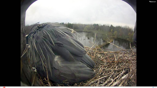 Great Blue Heron Laying Egg