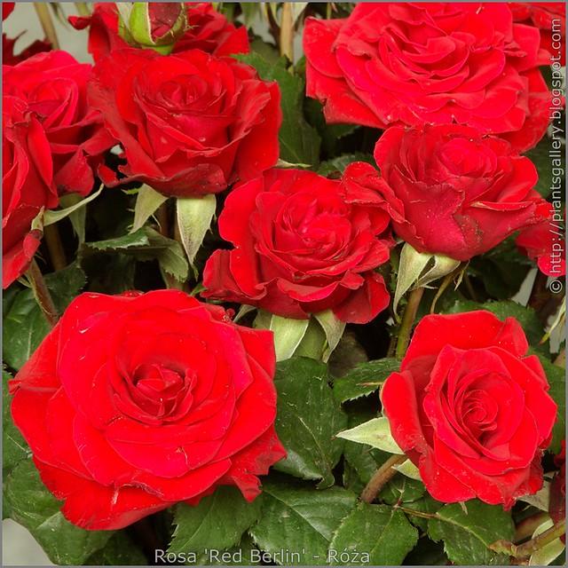 Rosa 'Red Berlin' - Róża