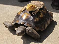 animal, turtle, box turtle, reptile, fauna, tortoise,