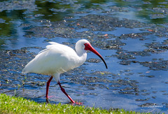 great egret(0.0), wetland(1.0), animal(1.0), fauna(1.0), shorebird(1.0), beak(1.0), ibis(1.0), bird(1.0), wildlife(1.0), egret(1.0),