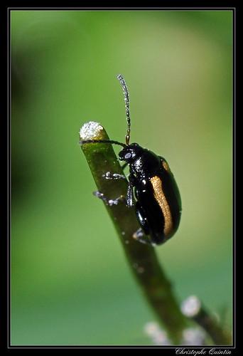 Altise du choux (Phyllotreta nemorum)