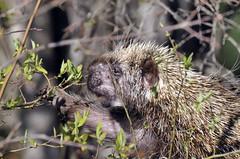echidna(1.0), animal(1.0), porcupine(1.0), rodent(1.0), erinaceidae(1.0), fauna(1.0), wildlife(1.0),