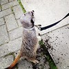 Just out walking the meerkat  #islington
