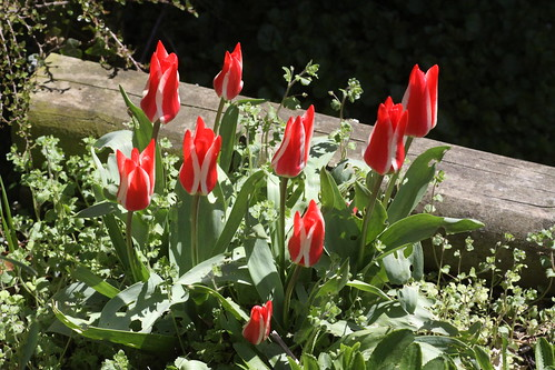 Next door's tulips