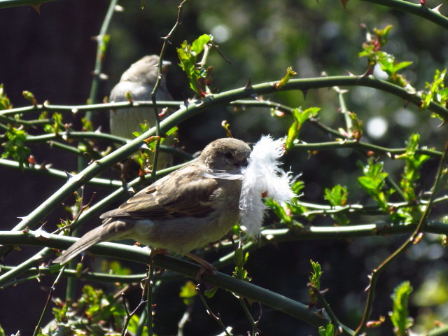 House Sparrow2R with feather 4:28:13