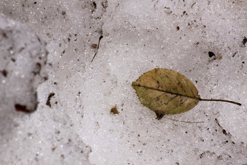 elm leaf on snow