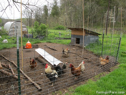 Chicken and egg tales (3) - Mr. Fancy Pants and his girls in their pen next to the kitchen garden - FarmgirlFare.com