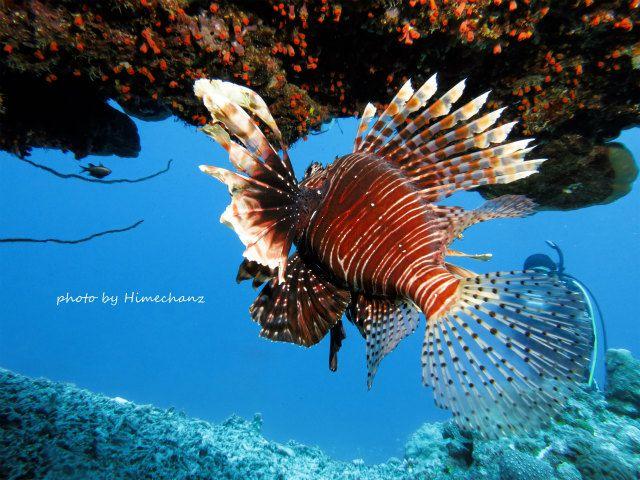 優雅に泳いでたハナミノカサゴ