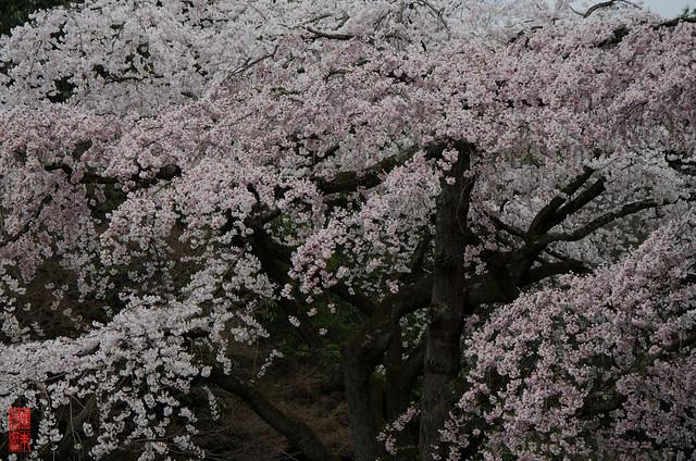 「桜色の諧調」 京都御苑 - 京都
