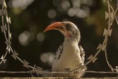 _3206 Red-billed Hornbill