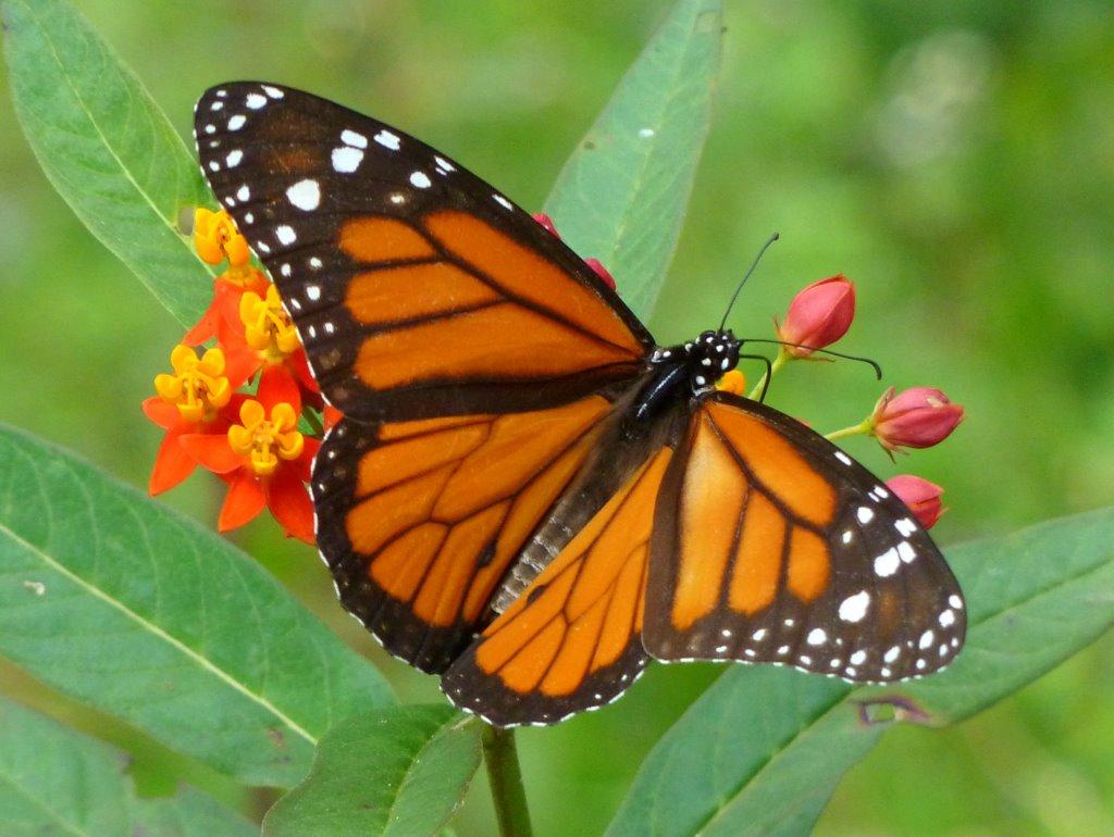 Monarch, Danaus plexippus, Nymphalidae