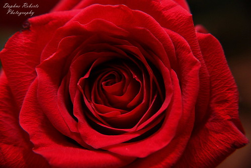 My love for thee is like a red rose.