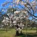 Blommande Mandelträd, feb 2012