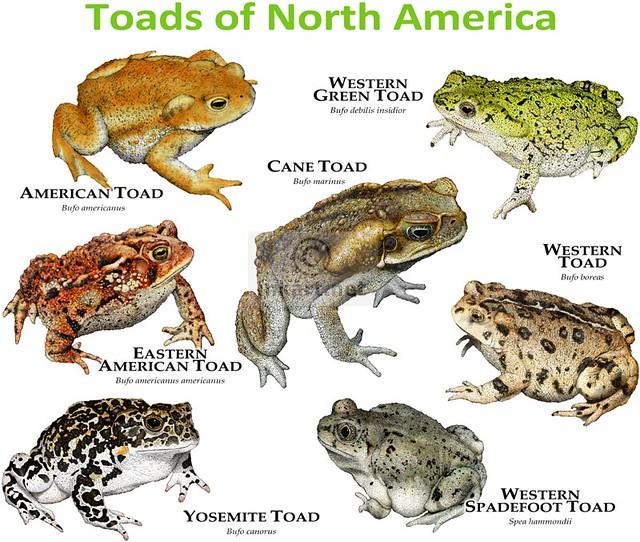 toad tadpoles