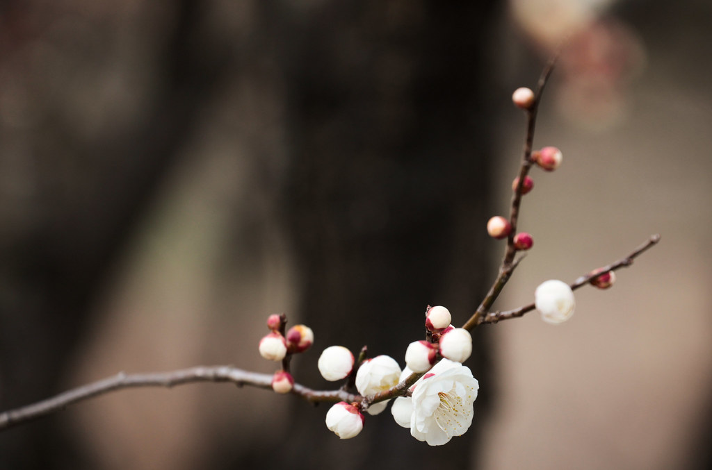 Japanese plum, ume, getting ready for the full bloom in March