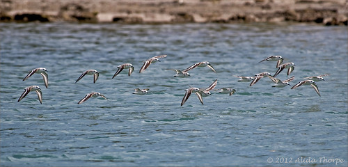 sanderlings in flight