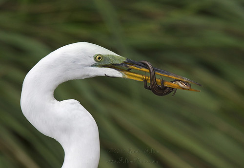 Egret with Eastern Five Lined Skink (5 photo series)