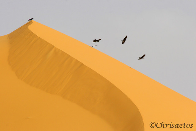 Cuervos Deserticolas
