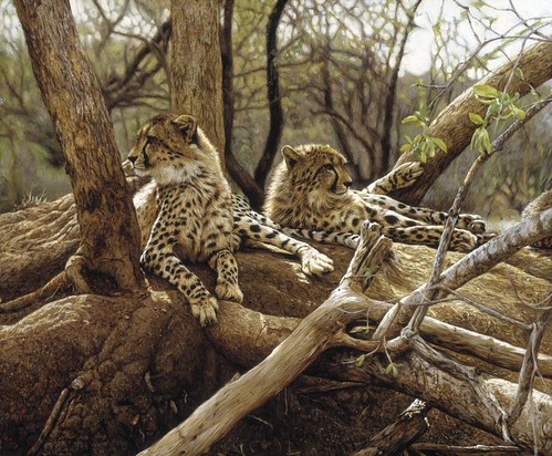 'Kapama Cheetahs' oil on board