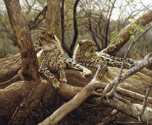 'Kapama Cheetahs' oil on board