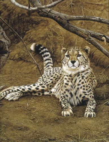 "'Young Cheetah' oil on board 16½"" x 12½"