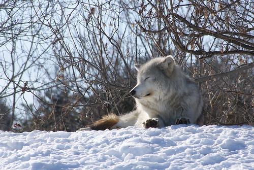 Wolf by susanvg