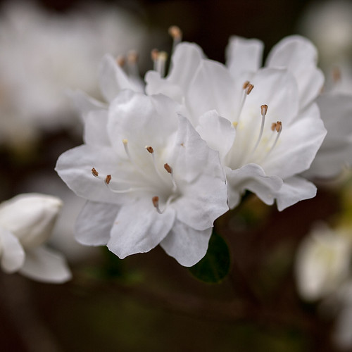 Small White Azaleas