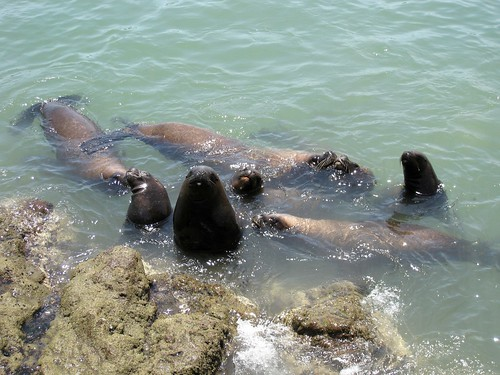 Hungry sea lions
