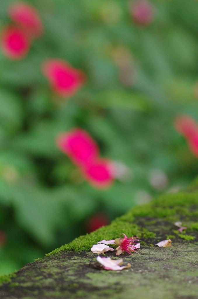 天元宮霧櫻花