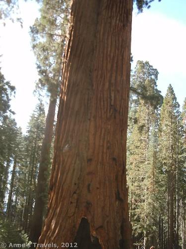 Faithful Couple, Mariposa Grove, Yosemite National Park, California