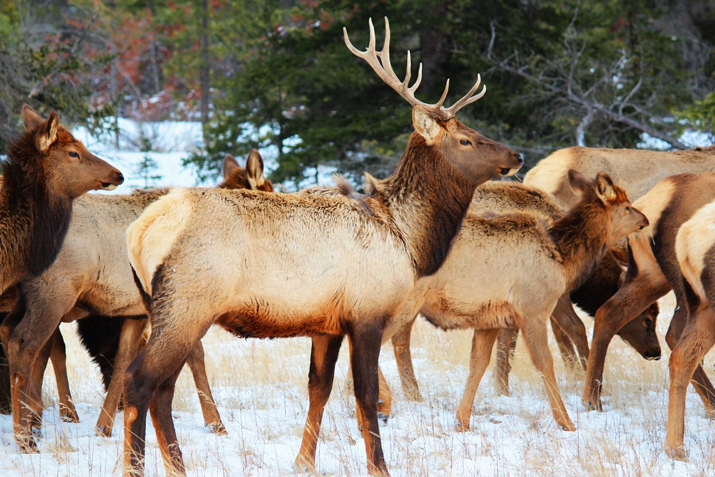 Elk - Some of the local wildlife in Jasper National Park.
