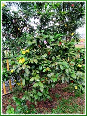 Flowering Ochna kirkii (Mickey Mouse Plant, Bird's Eye Bush) shrub by the roadside