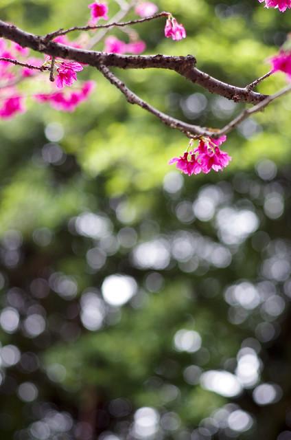 櫻花,與身邊的花花草草