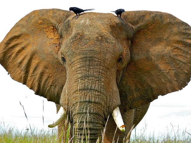 Header of African Savannah Elephant