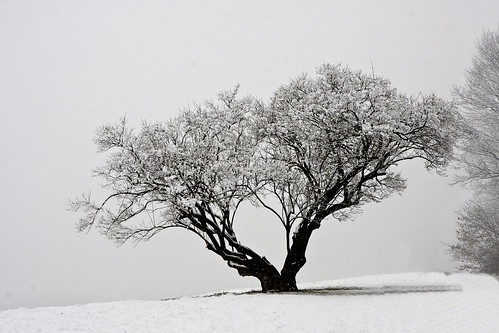 Valley Forge park in snow - The lone tree