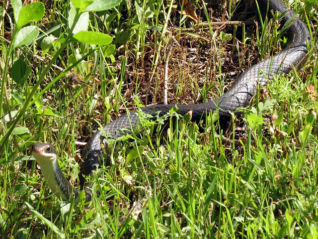 Southern Black Racer [maybe]