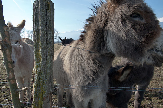 Donkeys III