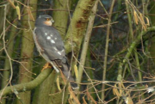 sparrowhawk-18-02-12