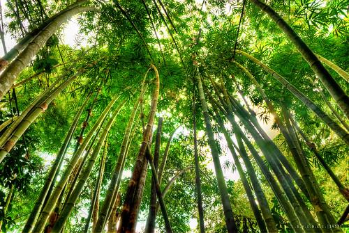 Bamboo || .G.R.E.E.N.