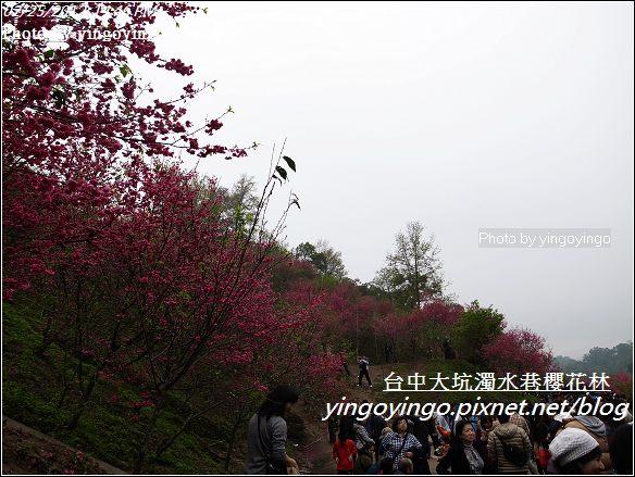 台中市北屯_大坑濁水巷櫻花林20120225_R0059954