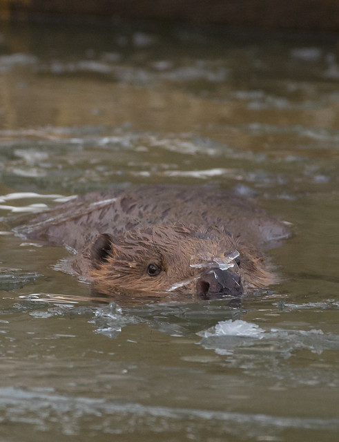 beaver with ice on its nose 2