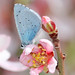 Holly Blue - Photo (c) Victor, some rights reserved (CC BY-NC-ND)