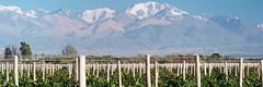 vinoargentino[1]